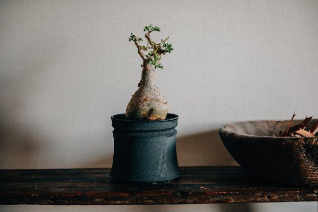 「塊根植物」キフォステンマ・ベティフォルメ