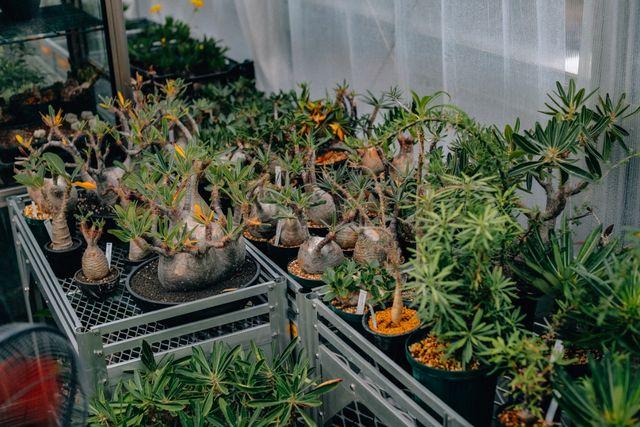 塊根植物 グラキリス