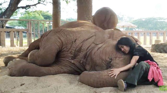 ほっこり。飼育員の子守唄で寝ちゃうゾウ(タイの動物保護施設)