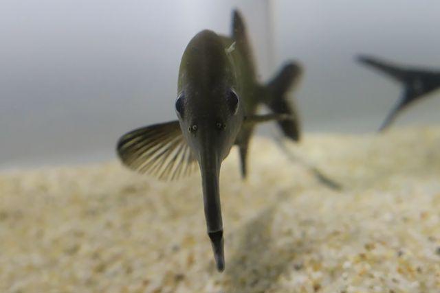 須磨海浜水族園の企画展「キモかわ展」で見られる珍魚、ロングノーズエレファント